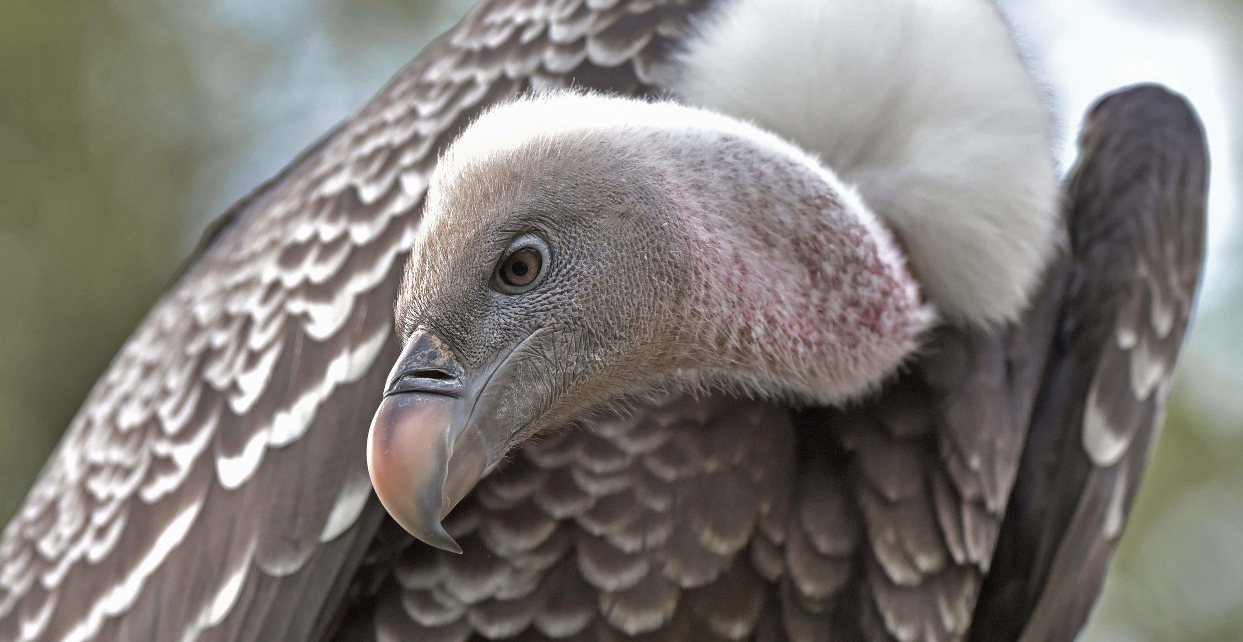 Ruppels vulture (8).jpg