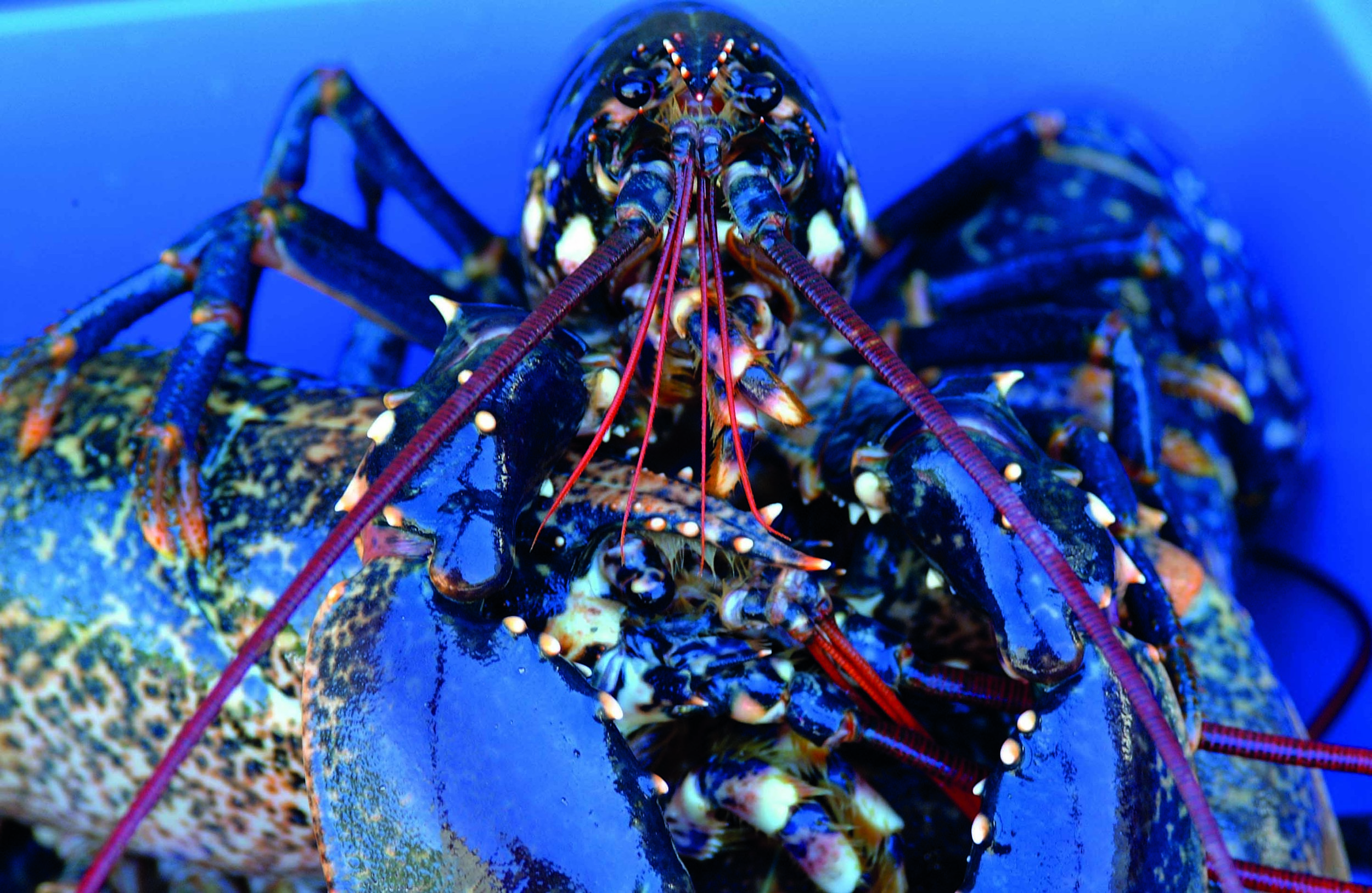 Live Lobster, Curgurrel Farm.jpg
