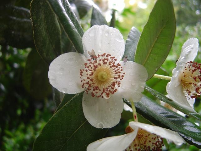 Eucryphia-cordifolia.jpg
