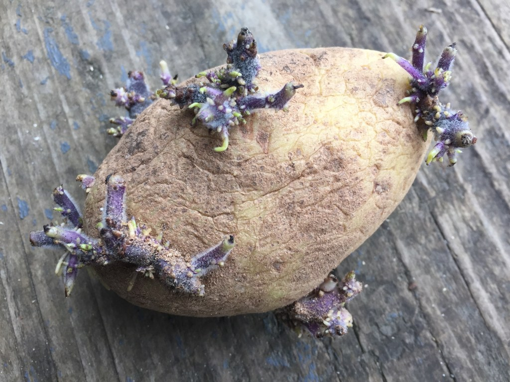 blendily-sprouted-potato.jpg