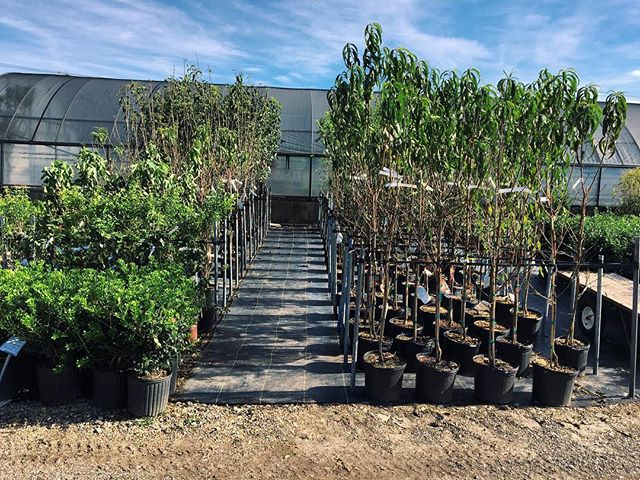 F R U I T  T R E E S ! ! !  It's the perfect time to plant right now & a great time to get fruit trees in the ground! We've got a new shipment of Peach, Plum, Apple, Pear, Pomegranate, & Fruiting Fig trees in 3 gallon buckets for $29.99!!! Check out our varieties of Pecan trees while you're here too, for $79.99! • • • • • #homesleysnursery #homesleys #nursery #gardencenter #plants #trees #fruittrees #peach #plum #apple #pear #pomegranate #fig #pecan #forney #forneytx #dallas #dallastx #texas #northtexas #dallasarea #green #fruit