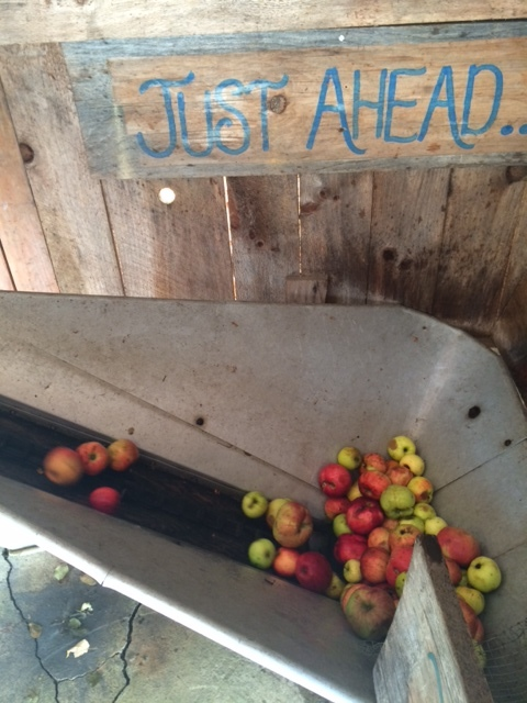 The apples go down the shoot into this shopper where they then travel up the conveyer belt
