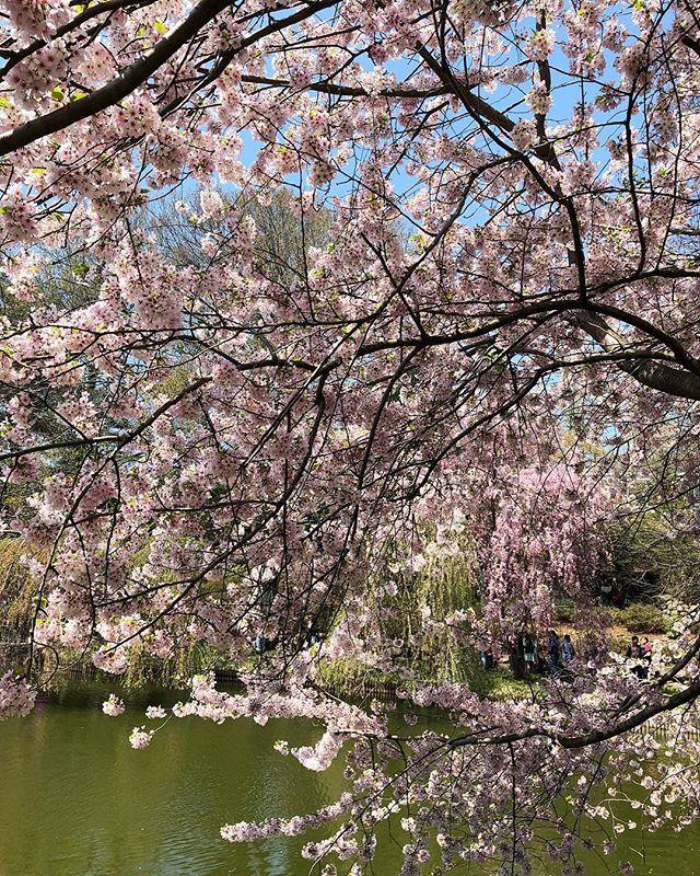 Finally, happy first day of spring, NYC! . . . . #spring #cherryblossom #brooklynbotanicalgarden #brooklyn #springtime #nyc