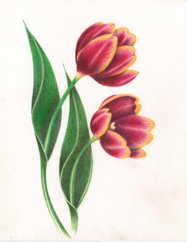 Skoorka Tulips copy.jpg