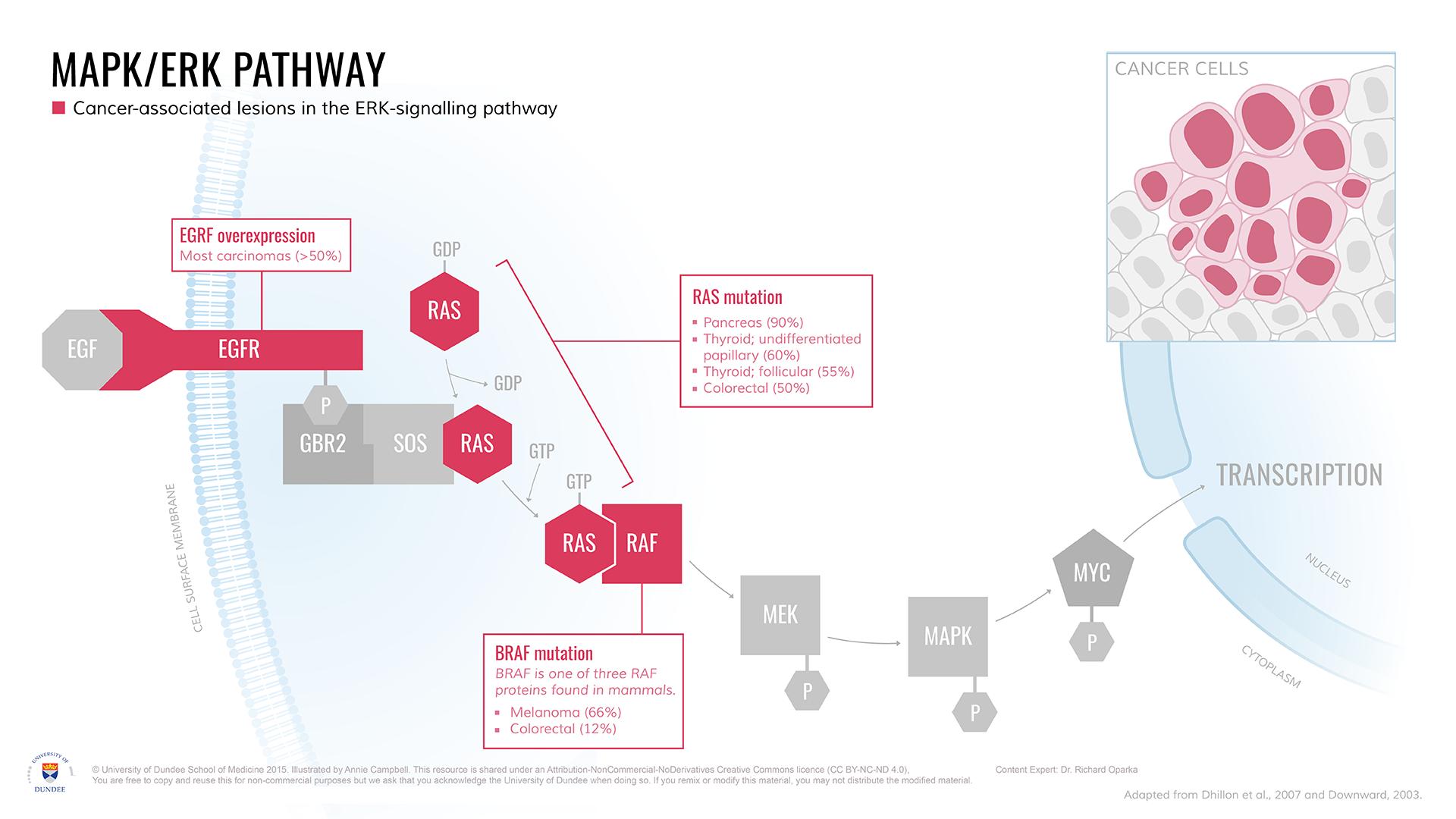 MAPK-ERK_Pathway_Cancer_Targets.png