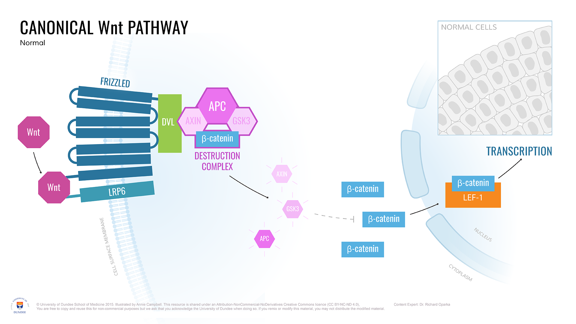 Canonical_Wnt_pathway_Normal.png