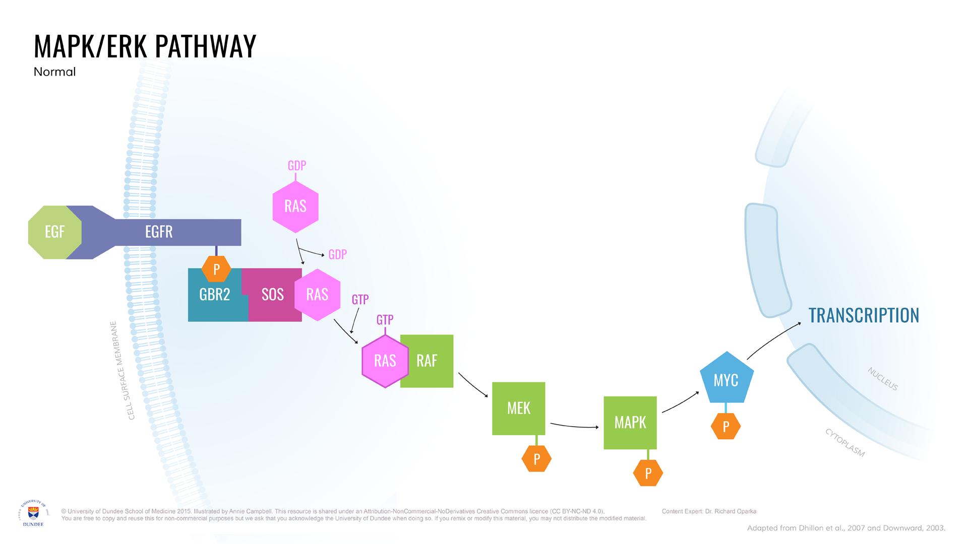 MAPK-ERK_Pathway_Normal.png