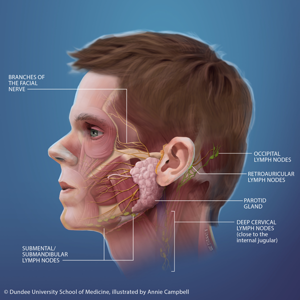 Dundee_University_School_of_Medicine_Annie_Campbell_Head_Anatomy_deep_lymph_nodes_blue_bckgnd_WITH_labels.png