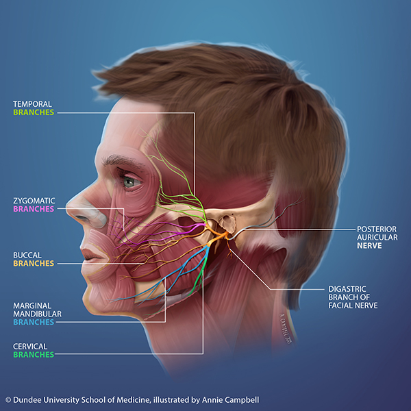 Dundee_University_School_of_Medicine_Annie_Campbell_Head_Anatomy_Facial_Nerve_blue_bckgnd_WITH_labels.png