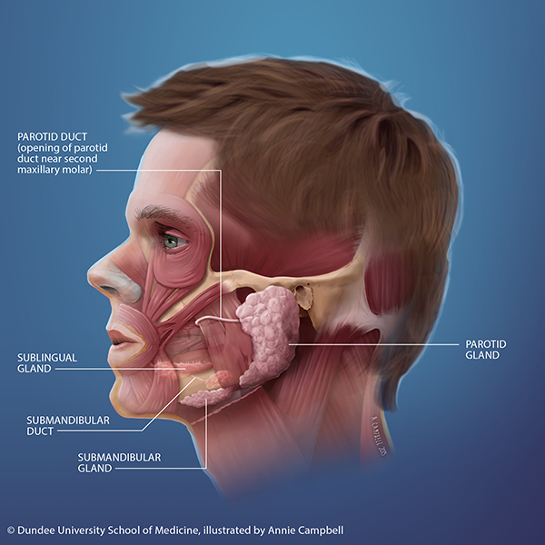 Dundee_University_School_of_Medicine_Annie_Campbell_Head_Anatomy_Salivary_and_Parotid_gland_blue_bckgnd_WITH_labels.png