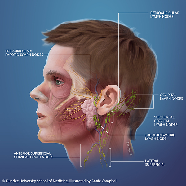 Dundee_University_School_of_Medicine_Annie_Campbell_Head_Anatomy_superficial_lymph_nodes_blue_bckgnd_WITH_labels.png
