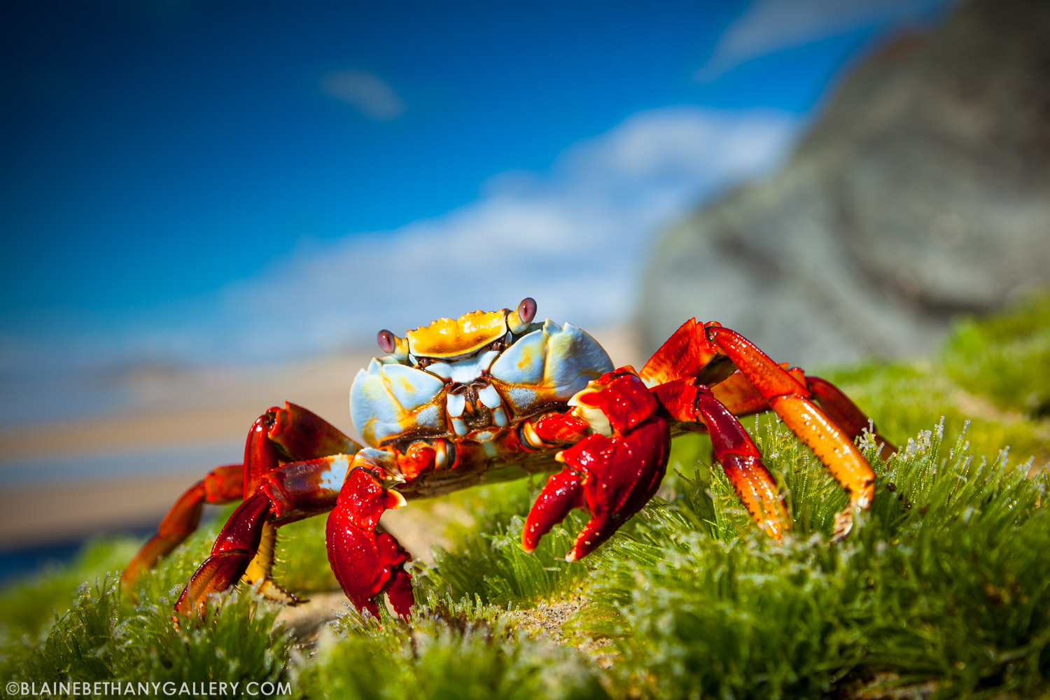 """Sally Lightfoot""  - Sally Lightfoot Crab poses in Baja California, Mexico"