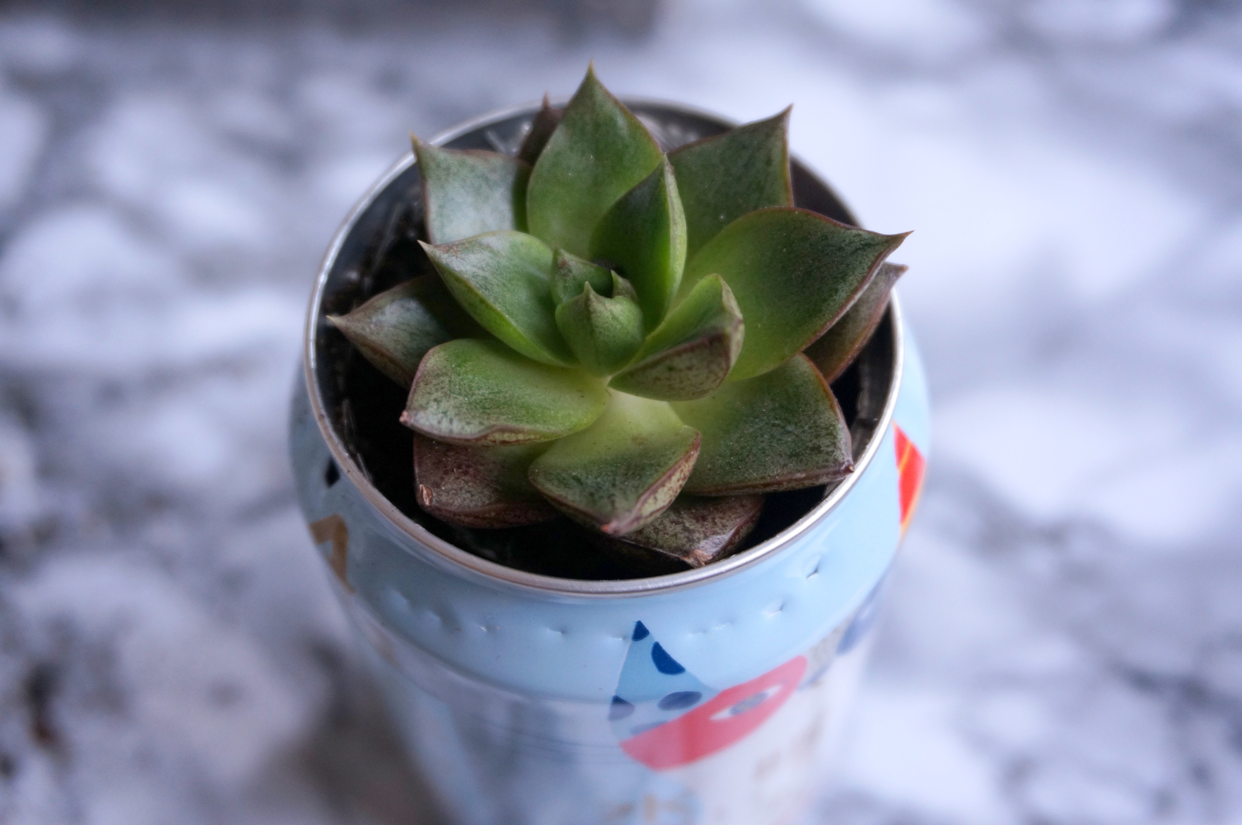 Beer can succulent
