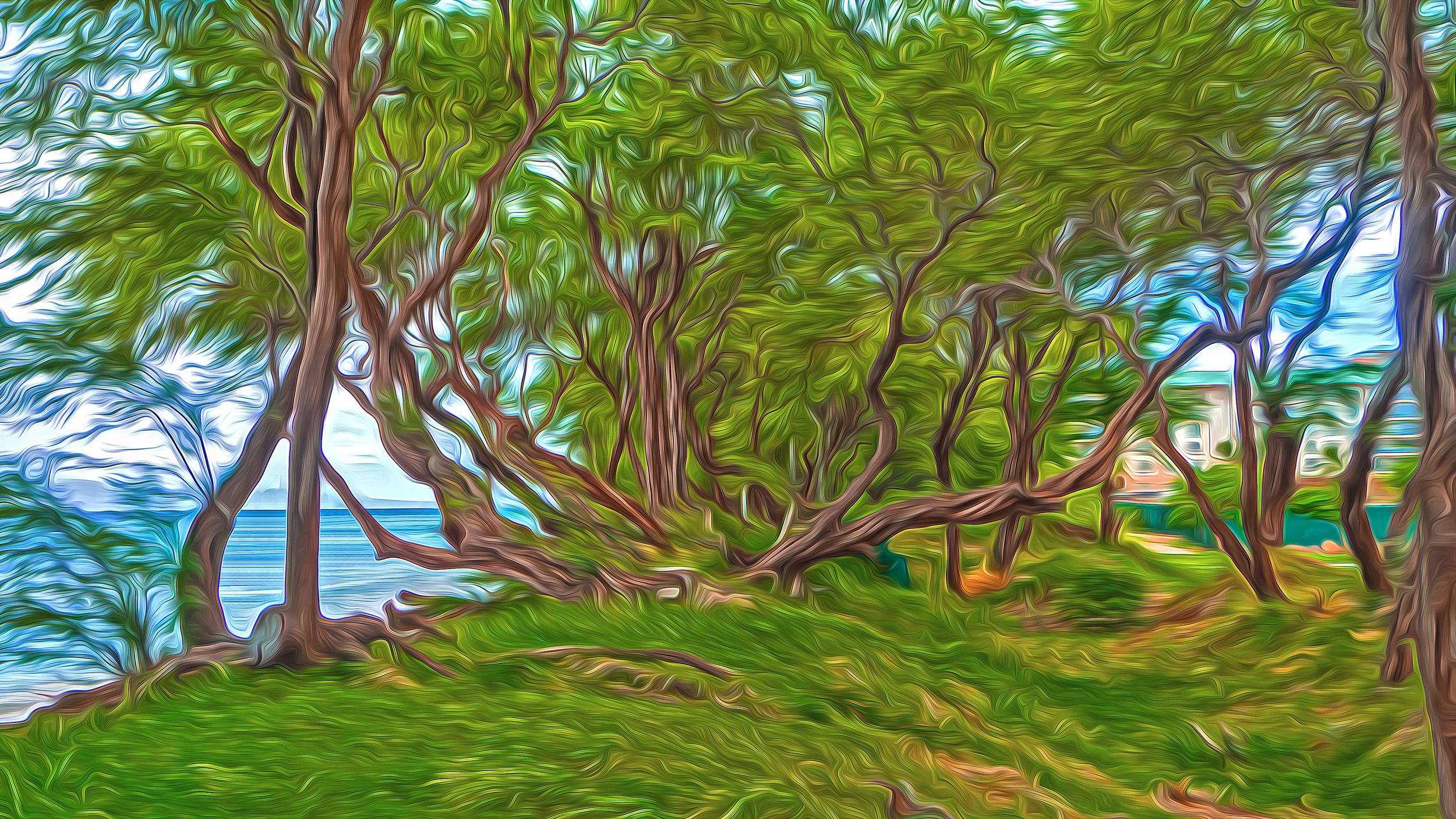 Maui Acacias