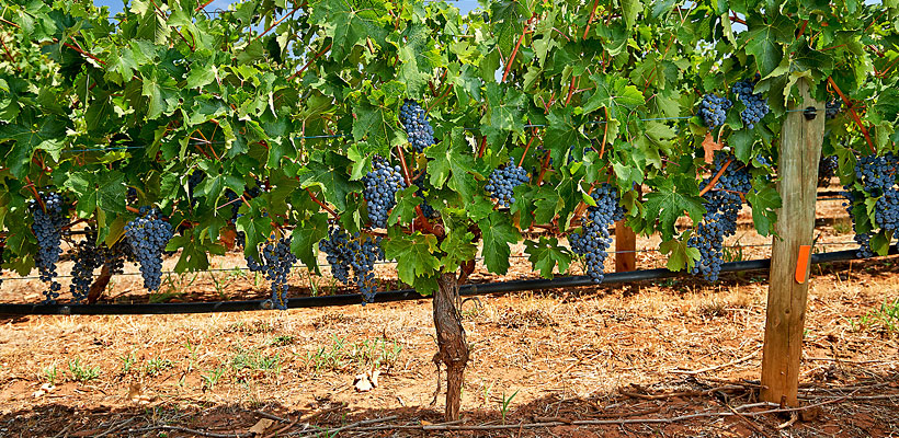 vineyard-main-cabsauv-hr.jpg