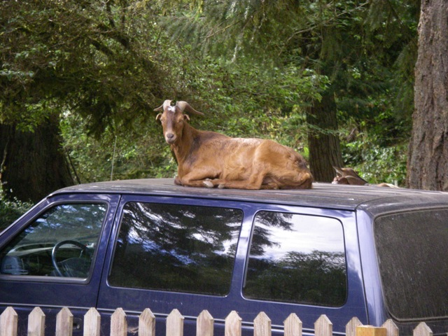 Goats and Vans in Hippyland.