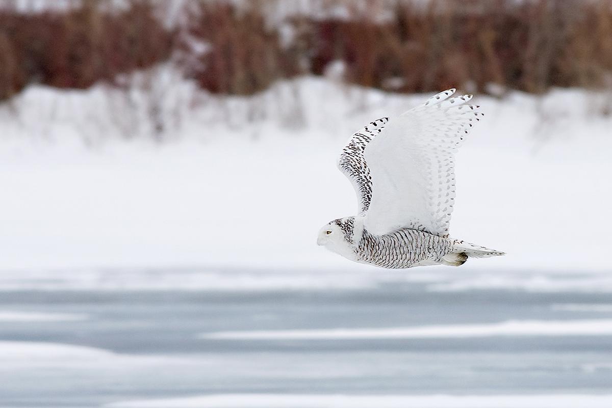Snowy Owl in Flight Small.jpg