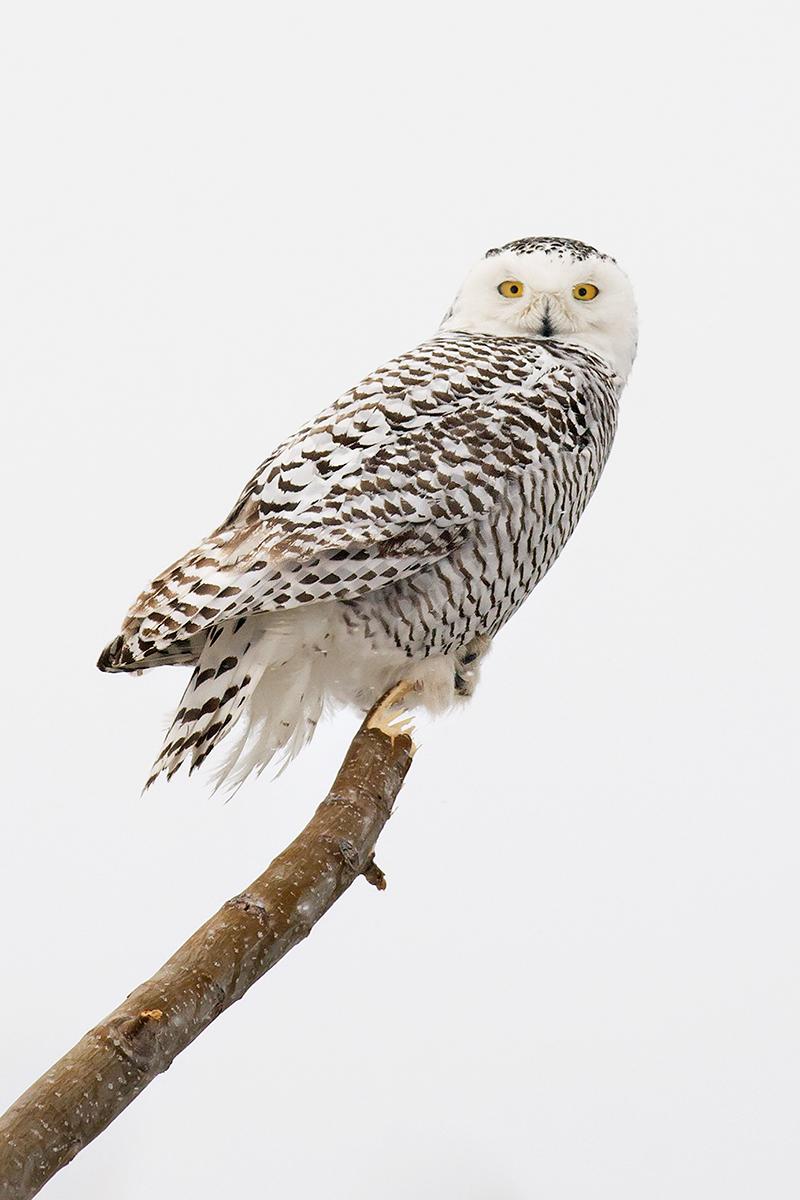 Snowy Owl Small.jpg