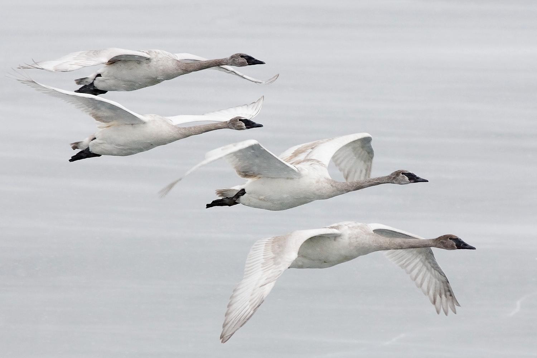 Swans in Flight Small.jpg