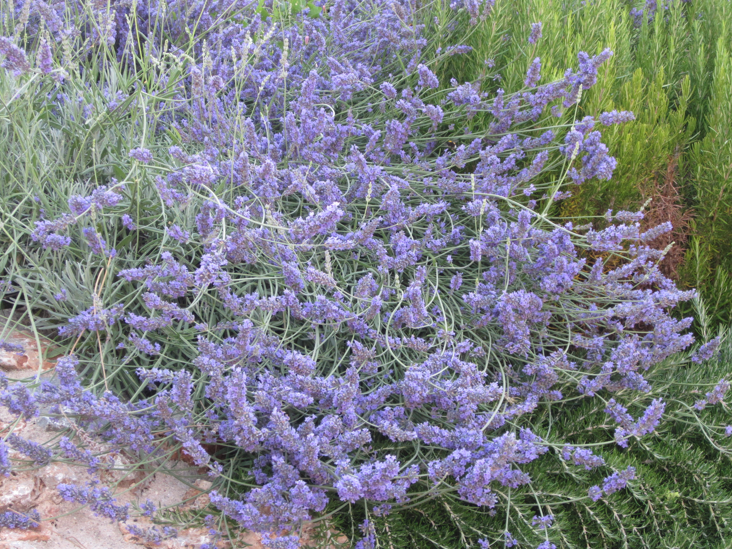 Lavender in Tuscany