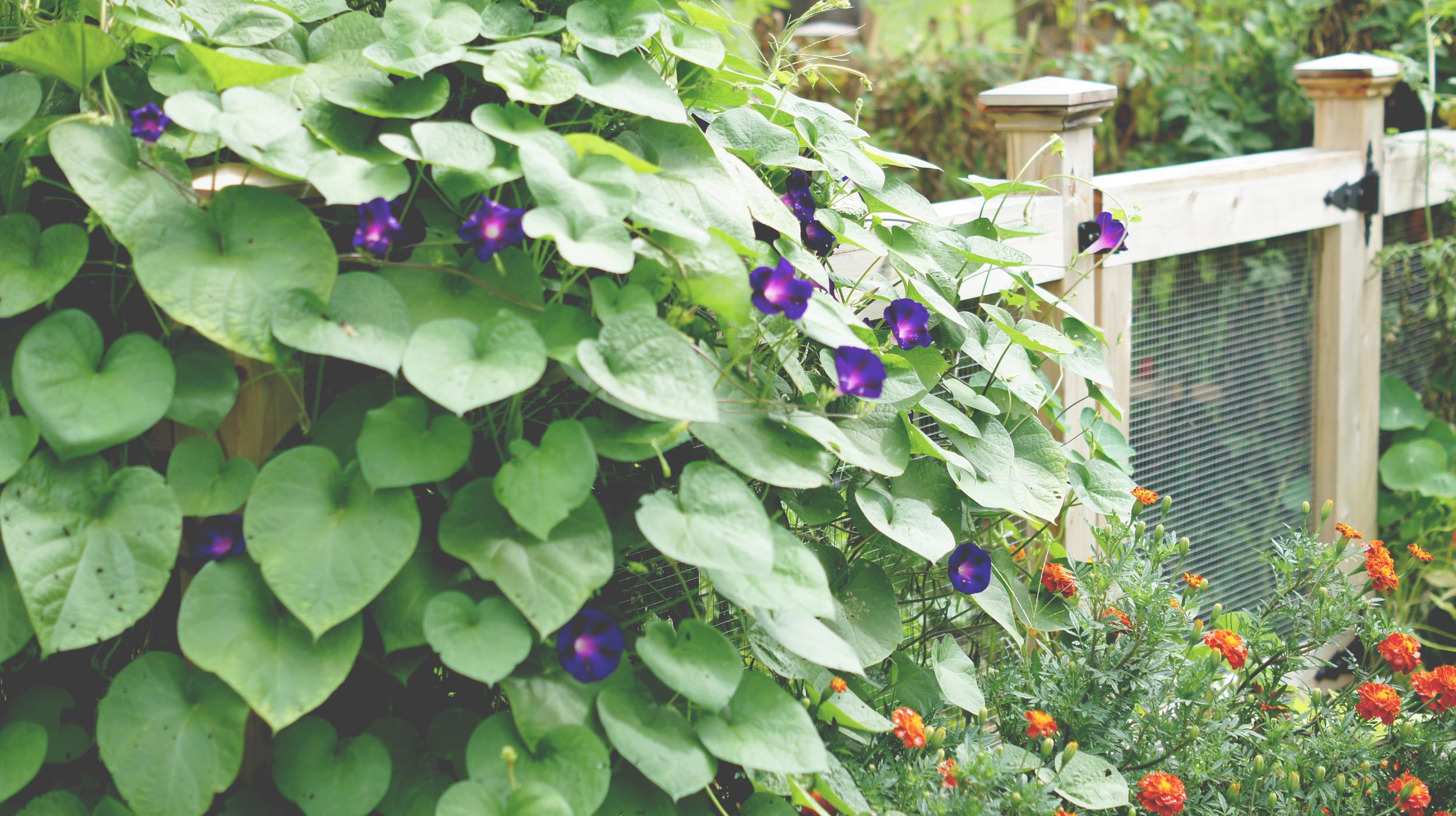 Acanthus House   2015 Vegetable Garden