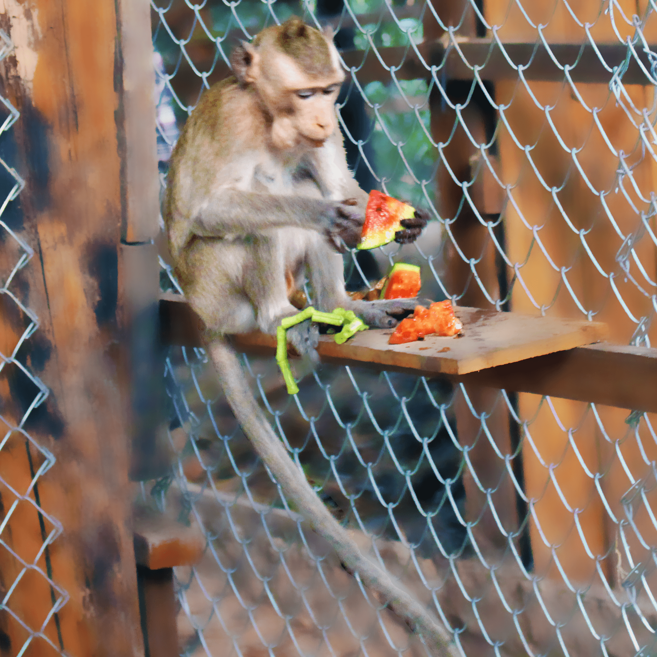One of the monkeys eating watermelon.