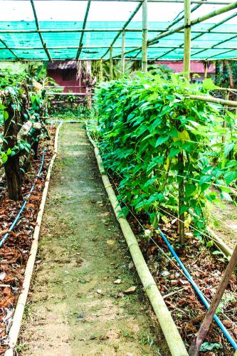 Corn fields in the garden at Eco-Logic Yoga Retreat in Thailand.