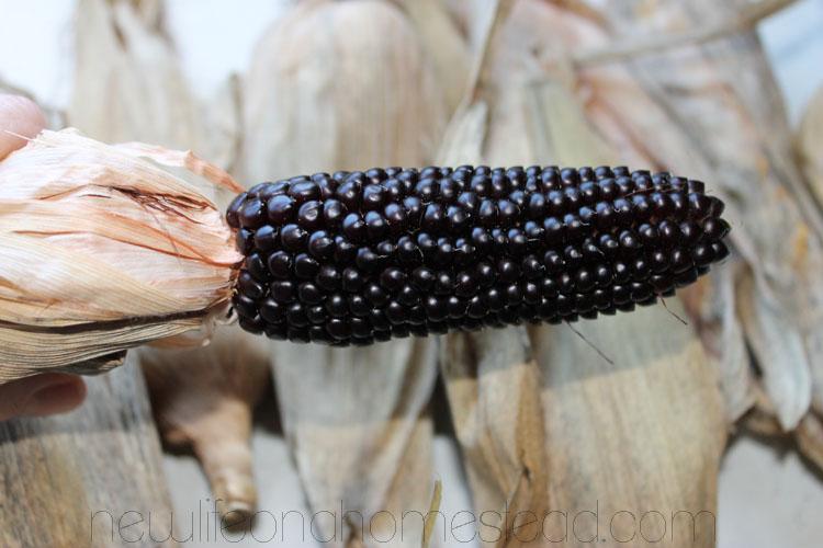 Black corn-poporn.jpg