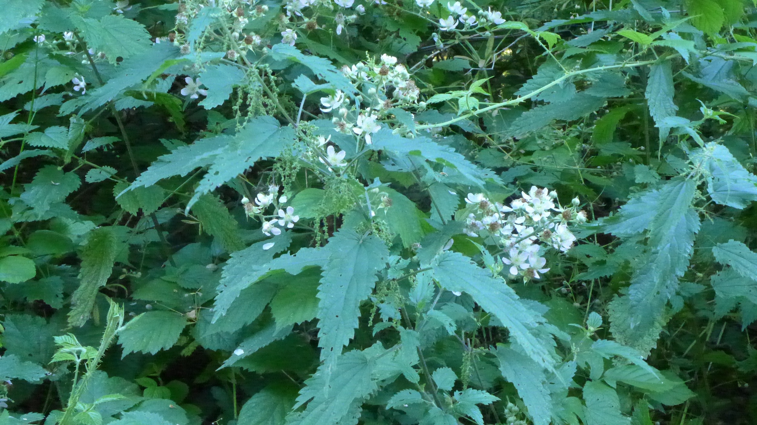Wild nettles and blackberry flowers on my forest walk