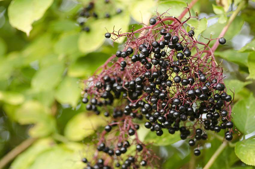 Twig of elderberry, Sambucus nigra, elder with ripe fruits