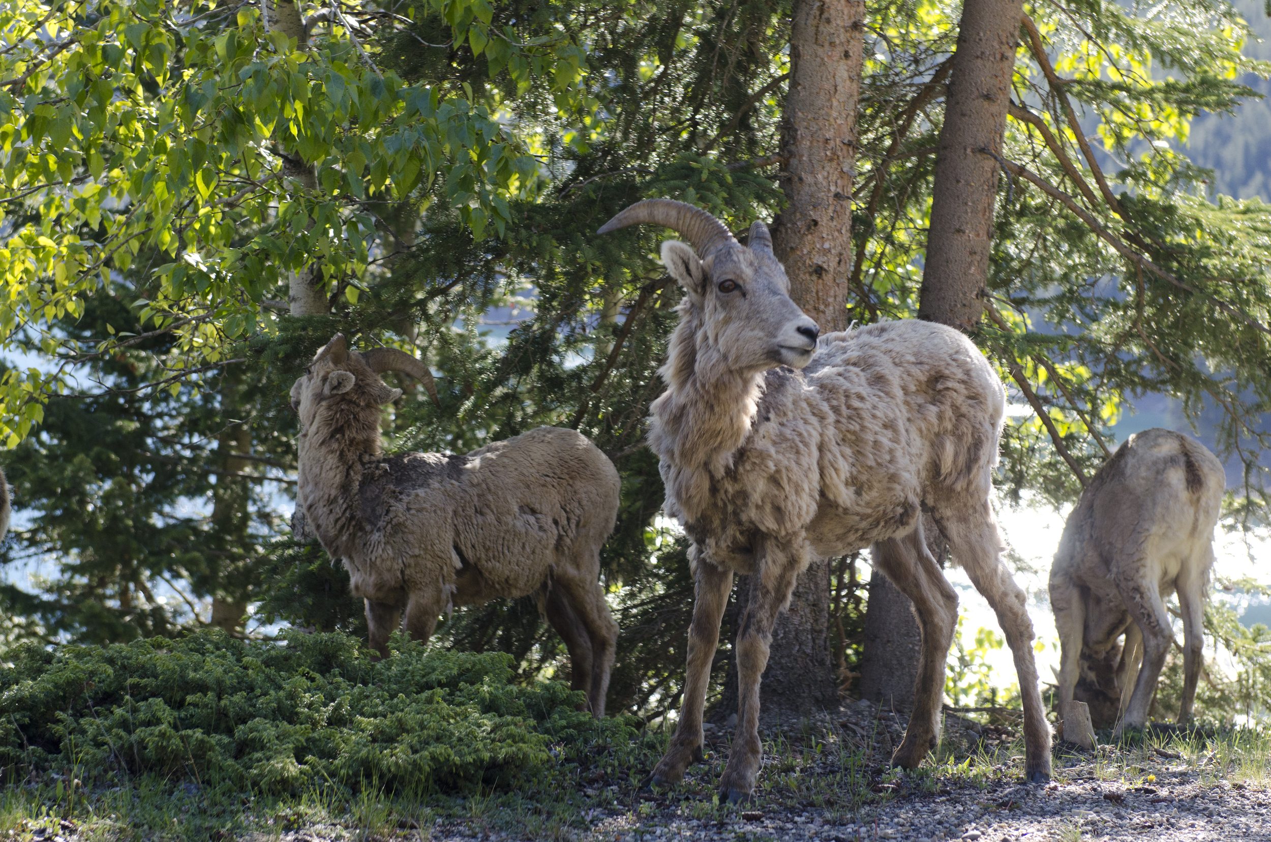 We came across this herd of Rocky Mountain Bighorn Sheep just above Minnewanka