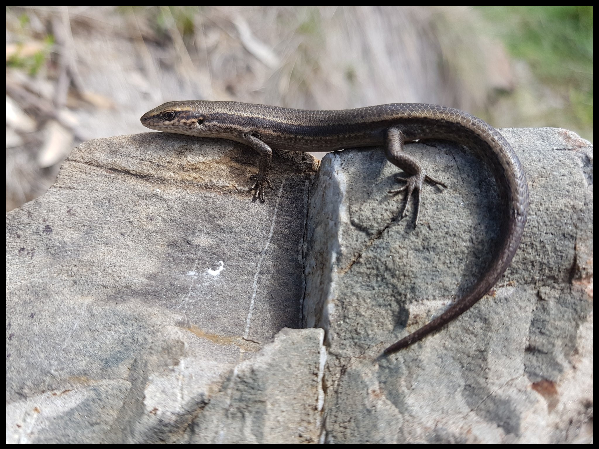 A Southern Grass Skink,  Pseudemoia entrecasteauxii , one of the species we study as a model for placental evolution.