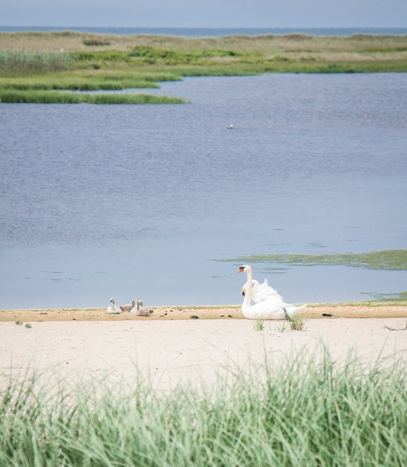 Coskata+Coatue+Wildlife+Refuge_Nantucket+Island+Massachusetts_Swan+%2B+Cygnet