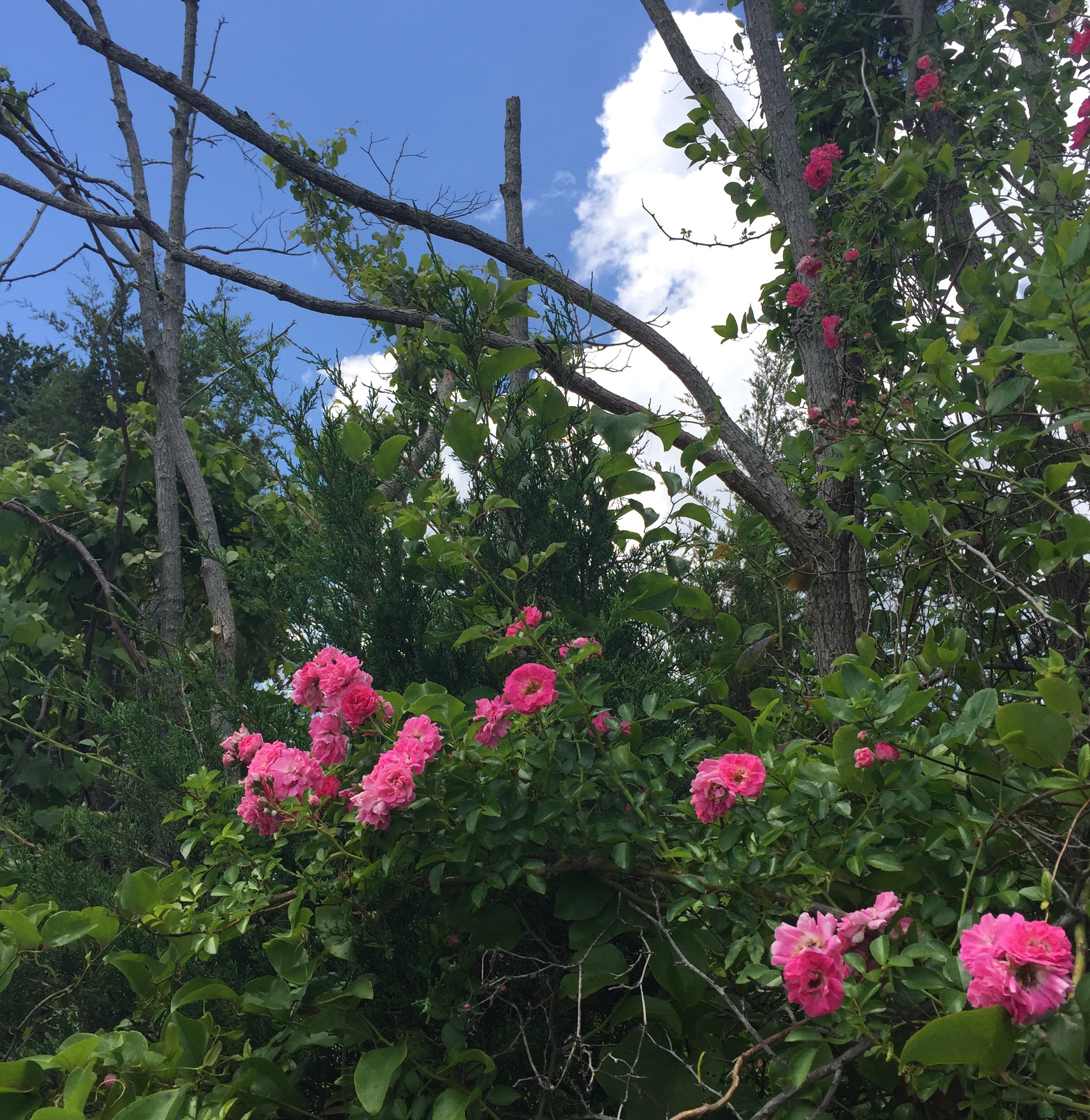 Pink wild roses grow all along the road.