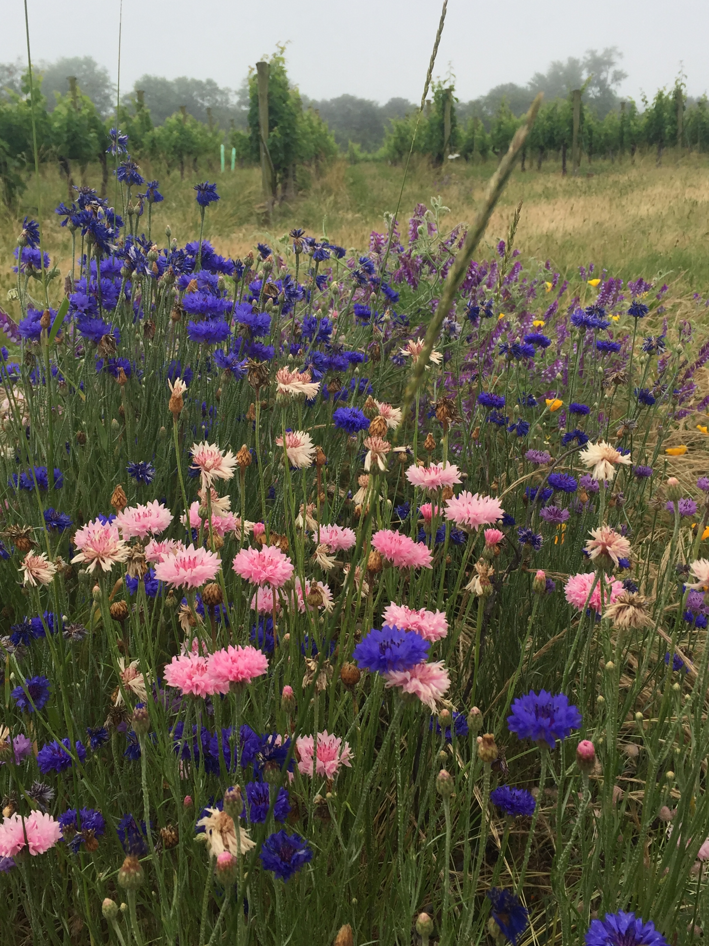 """Pink, blue, purple asters and yellow buttercups. The colors pop in the gray mist. Grape vines climb in neat clipped, fenced rows of """"grape trees"""". I see these things all the time, but today I'm taking their picture. Smile.    Gold finches, turtle doves, red-winged black birds, some blue-all-over bird, gulls, and ospreys flying through the mist. One turtle trying to make it to the other side, though I see many others crushed by careless cars and trucks. Makes me wince every time.    Others riders, exactly five, are out on their bikes, also. Bike lights glow brilliantly white on the front, and blinking reds on the back. Will cars really see me? I can barely see the cars with their brights on."""