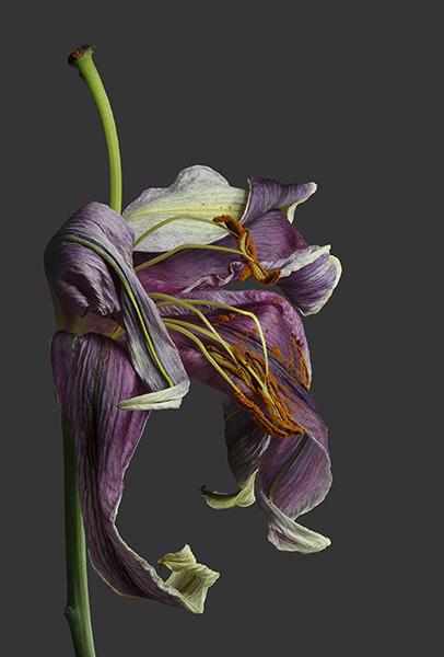 R e b e k a h T a y l o r  Lily 1 - The Last Dance (framed) image size 30.5 x 44.7 cm framed size 57.5 x 71.7 cm printed on Fuji Film fine art photo rag paper 100% cotton rag £ 400