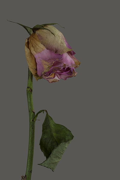 R e b e k a h T a y l o r  Rose - The Last Dance (framed) image size 30.5 x 44.7 cm framed size 57.5 x 71.7 cm printed on Fuji Film fine art photo rag paper 100% cotton rag £ 400