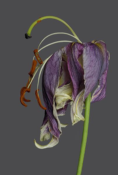 R e b e k a h T a y l o r  Lily 2 - The Last Dance (framed) image size 30.5 x 44.7 cm framed size 57.5 x 71.7 cm printed on Fuji Film fine art photo rag paper 100% cotton rag £ 400