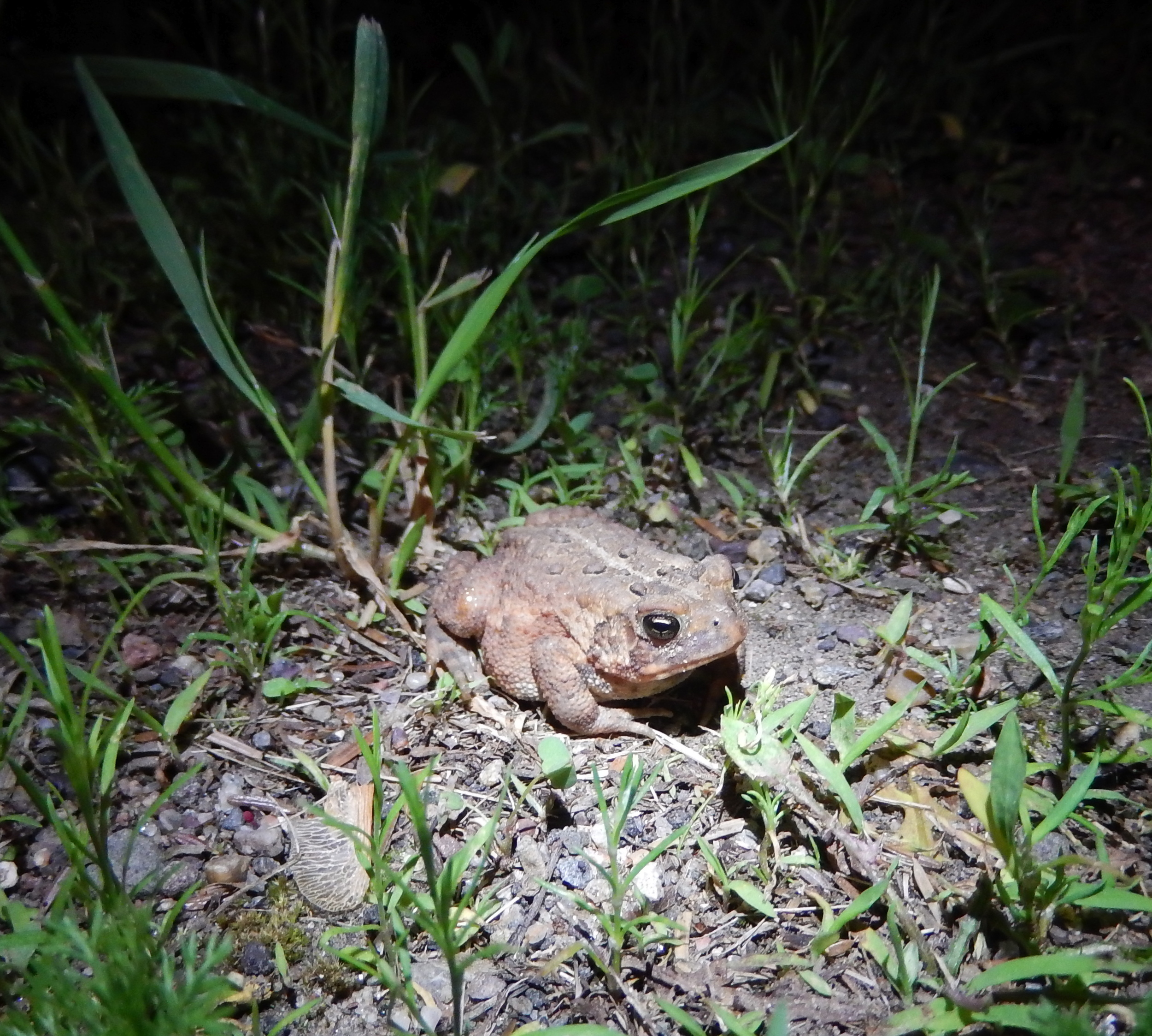 night time American Toad