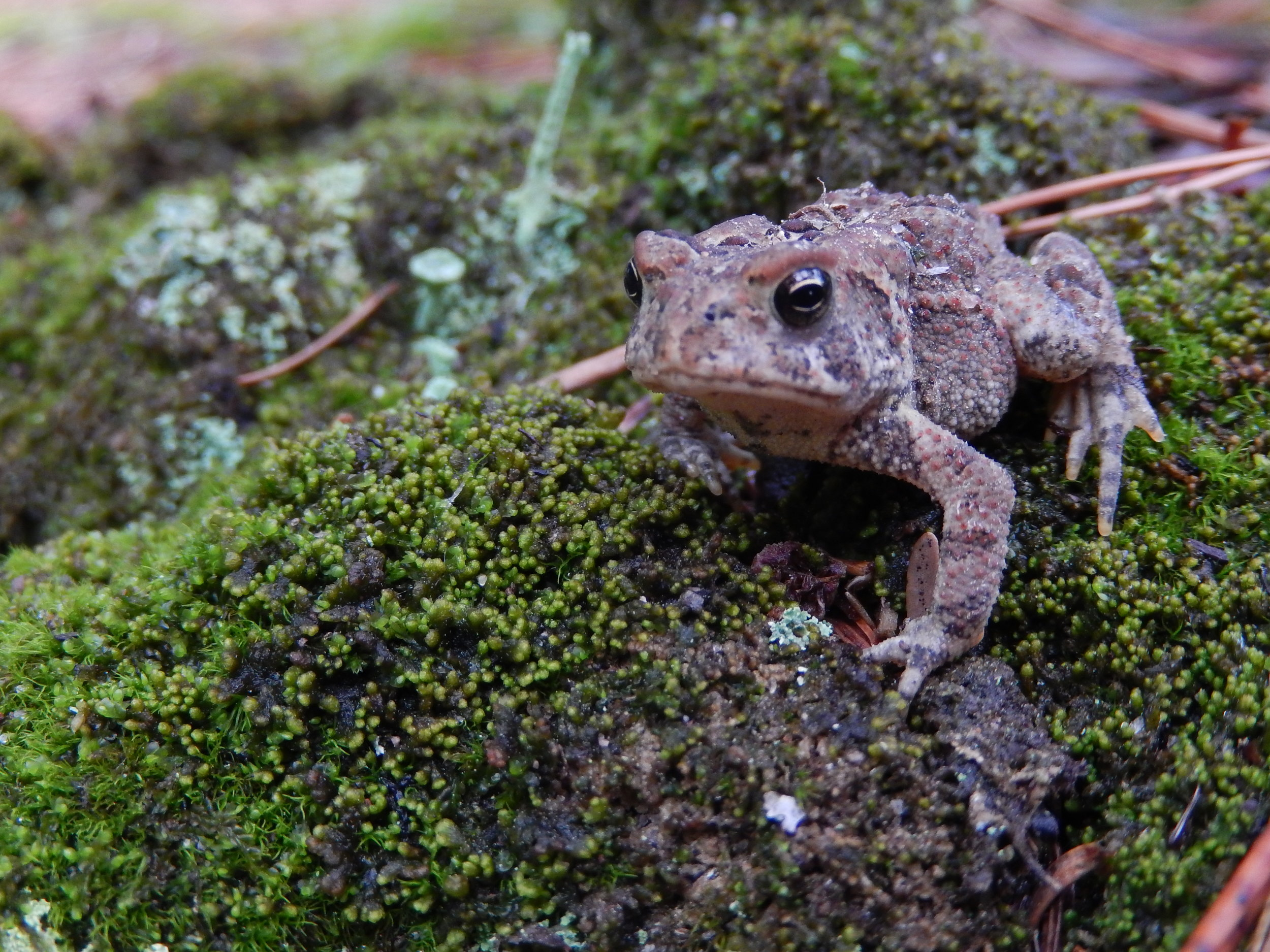 daytime American Toad