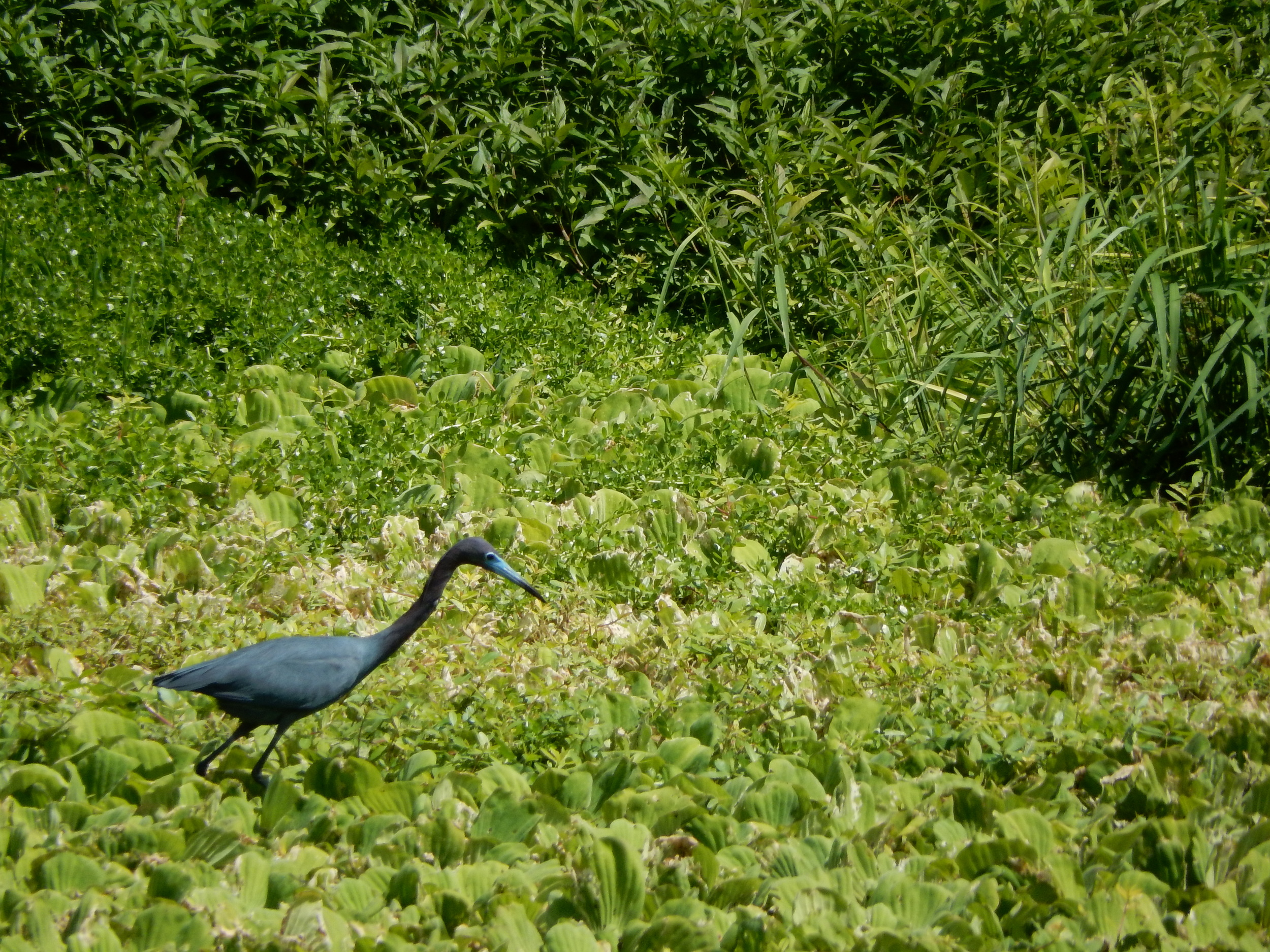 Little Blue Heron hunting for fish (or whatever it can grab)