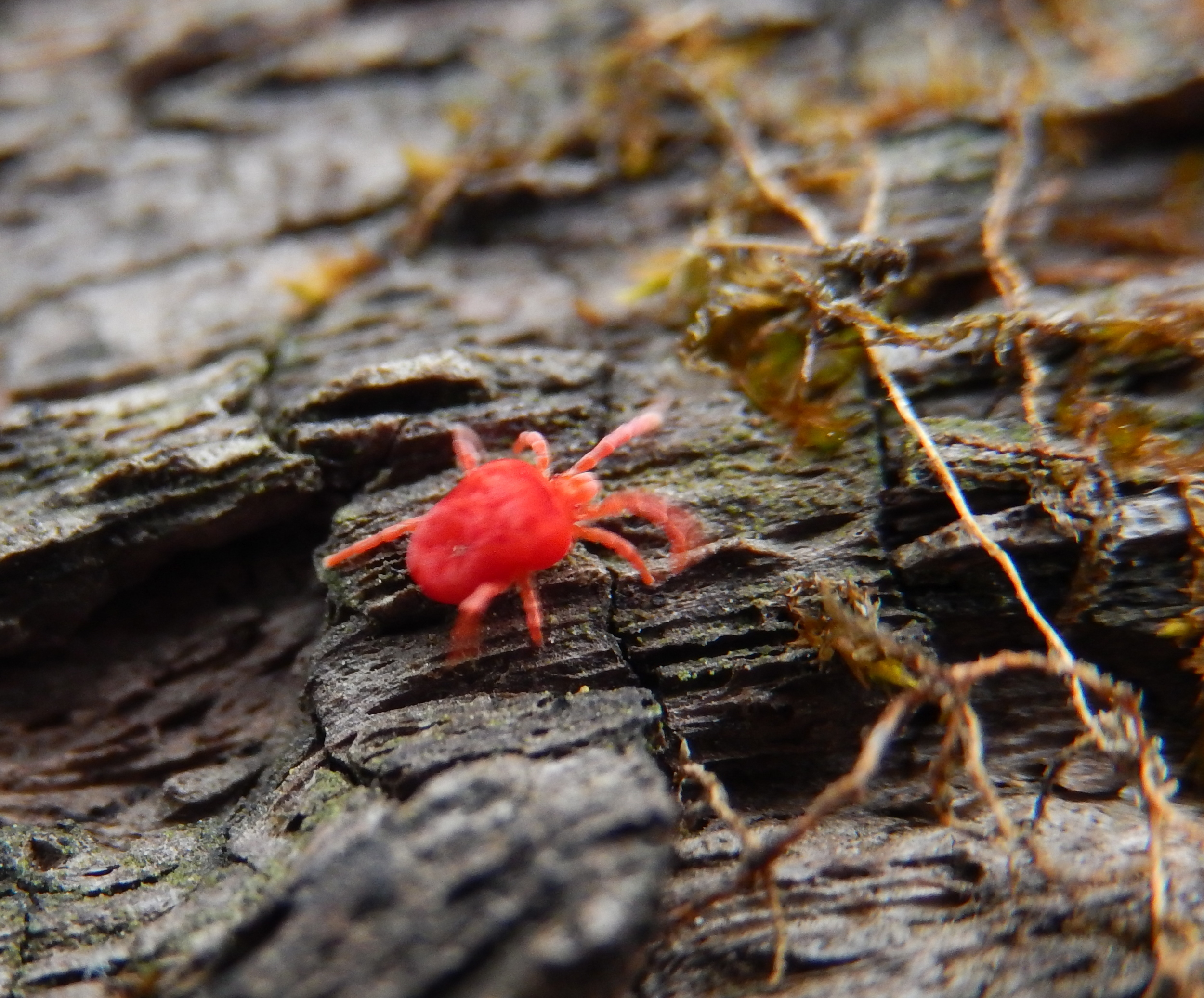 tiny Velvet Mites found in and under the damp logs (tiny but on the move (blurry))