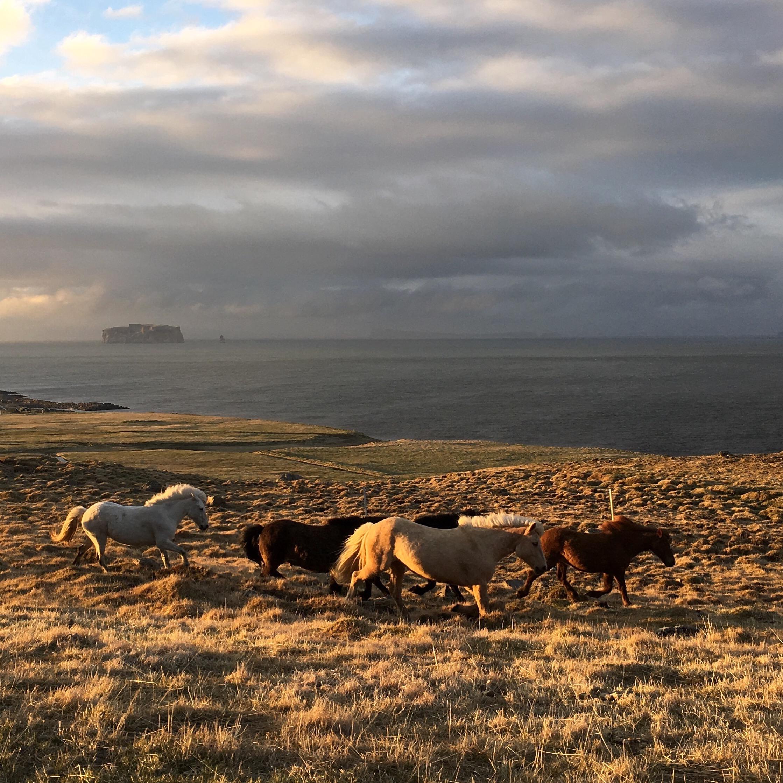 Icelandic ponies near Grettislaug