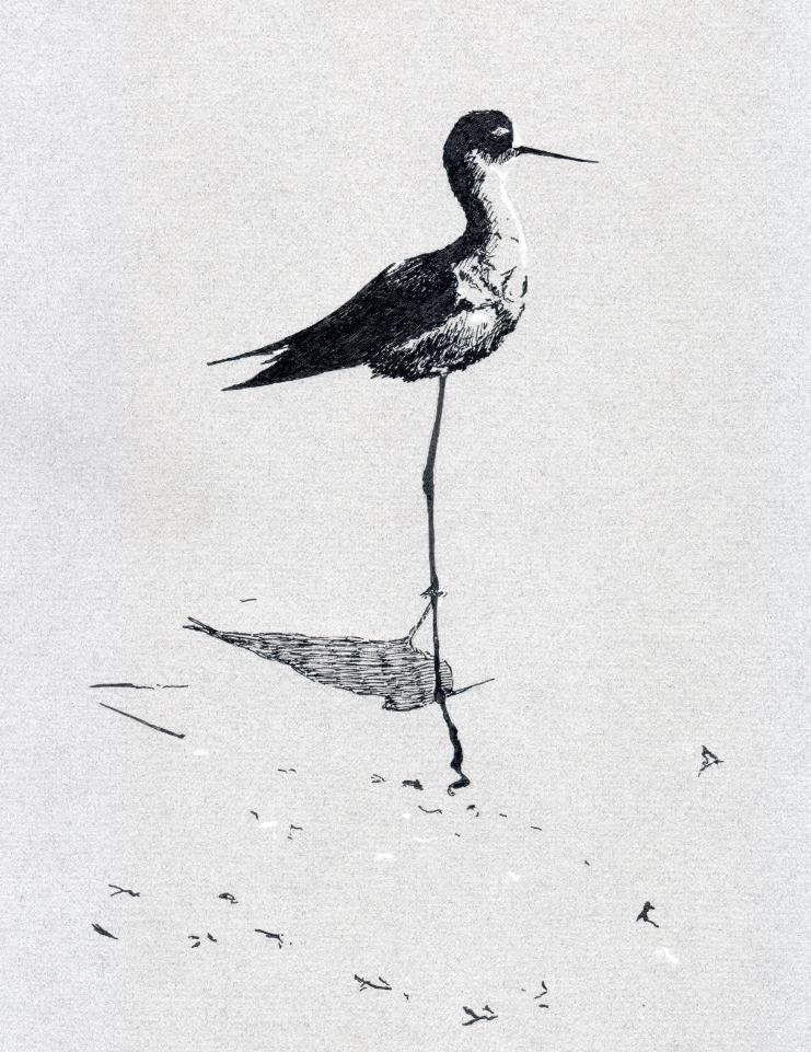 """Black-necked Stilt in the shallows"" (2015)"