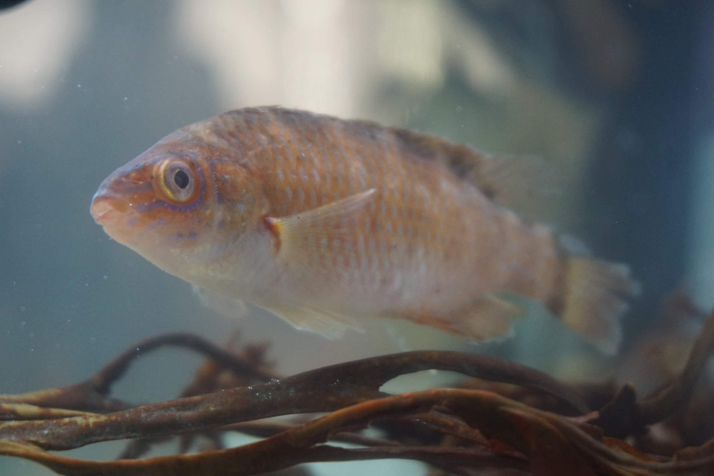 all natural health control - young wrasse are an integral part of our team; keeping our salmon happy and growing well