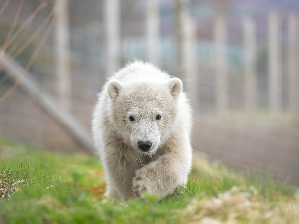 Hamish running in his enclosure at the Highland Wildlife Park.jpg