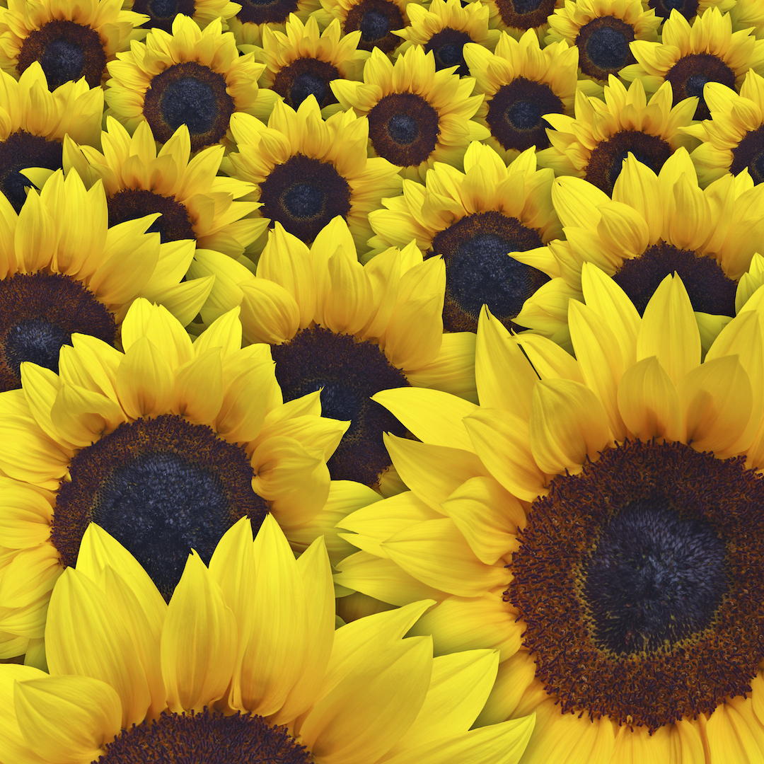 Unlimited Sunflowers.jpg