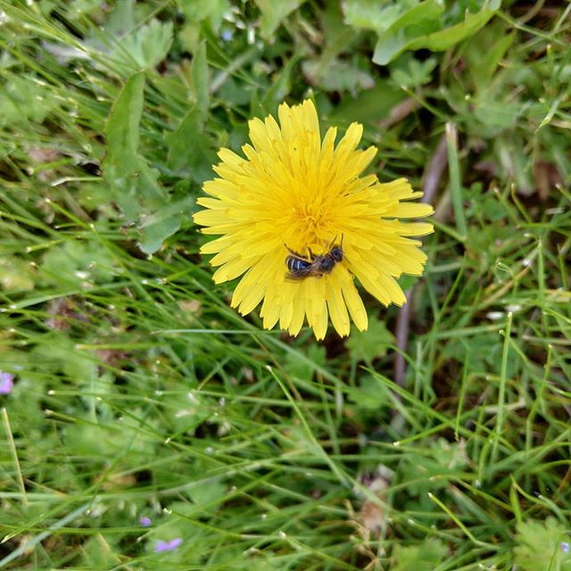 Some days motivation whithers on the vine so you go outside to find some. This little Mason bee lady is busting her ass to get the smallest of rewards from this single flower. #aesirmeadery #mead #dandelion #bees #nature #local #handmade #craft #craftmead #workerbee #hustle #everettwa #snohomish  #milltownmakers