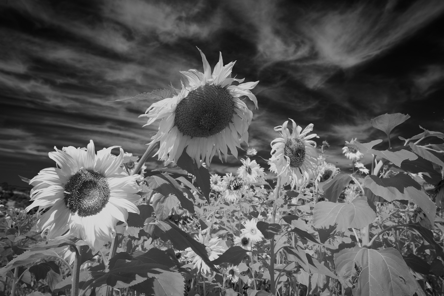 Sunflowers in Infrared
