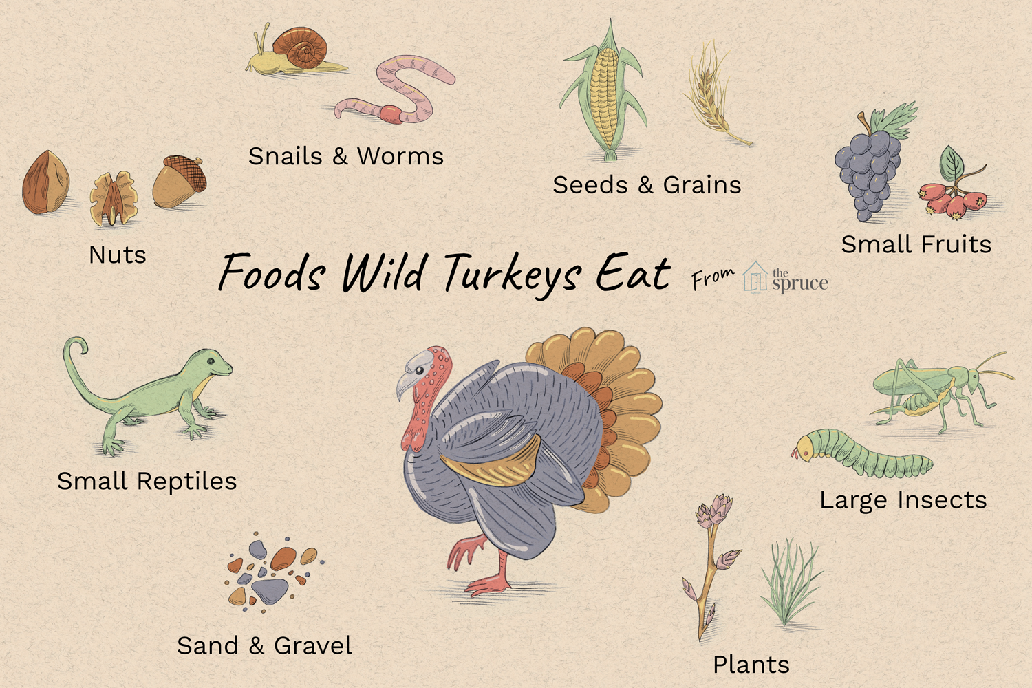 Foods Wild Turkeys Eat - 2019   Graphite and Adobe Photoshop